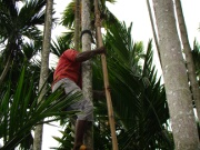 Climbing to pluck