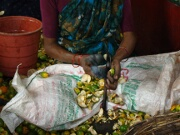 Highly skilled and dangerous work - Pealing areca nut to get the kernel